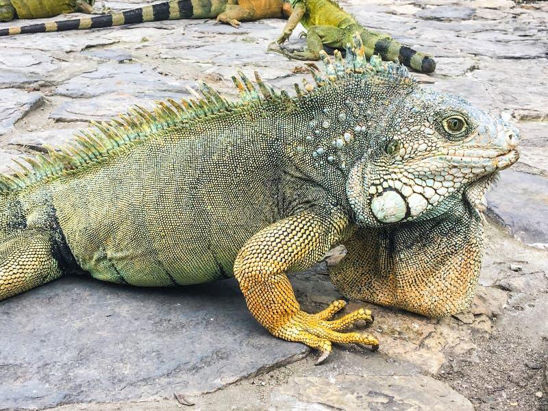 Σχεδιάγραμμα Iguana στο πάρκο Seminario, Guayquil Ισημερινός στοκ εικόνα με δικαίωμα ελεύθερης χρήσης