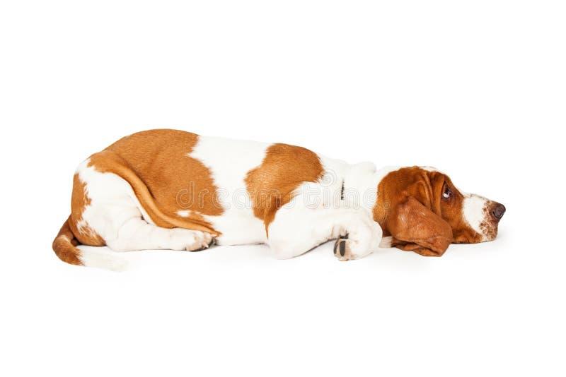 Σχεδιάγραμμα μιας κουρασμένης τοποθέτησης κουταβιών κυνηγόσκυλων μπασέ στοκ εικόνες