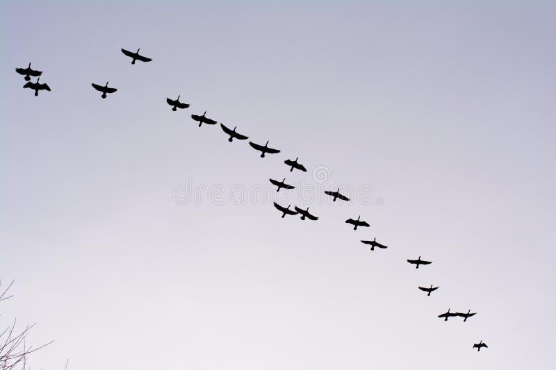 Σχηματισμός των μεγάλων κορμοράνων κατά την πτήση - carbo Phalacrocorax στοκ εικόνα
