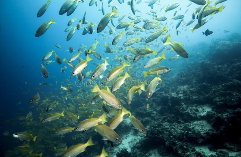 Σχολείο bigeye snapper των ψαριών lutjanus Lutjanus υποβρύχιων στοκ εικόνα