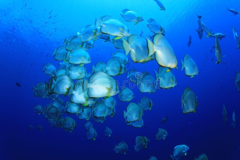 σχολικά spadefish στοκ εικόνα με δικαίωμα ελεύθερης χρήσης