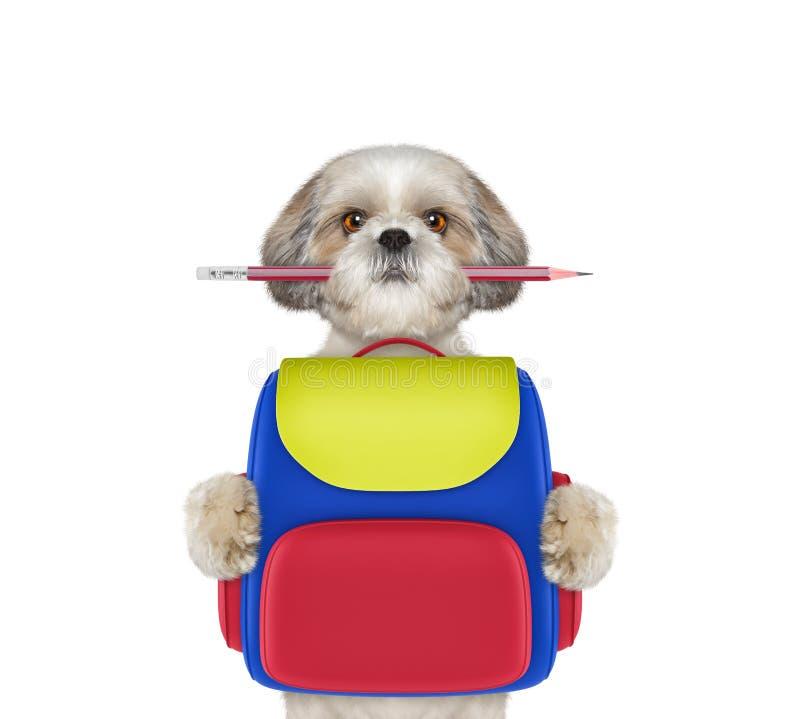 Σχολείο υπακοής σκυλιών - shitzu με την τσάντα που απομονώνεται στο λευκό στοκ εικόνες