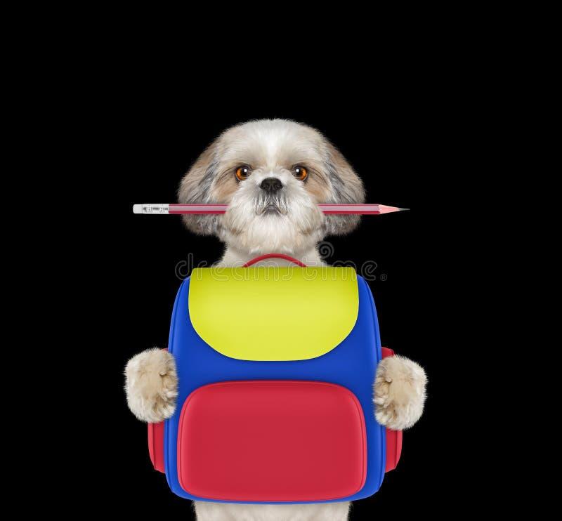Σχολείο υπακοής σκυλιών - shitzu με την τσάντα που απομονώνεται στο Μαύρο στοκ φωτογραφίες