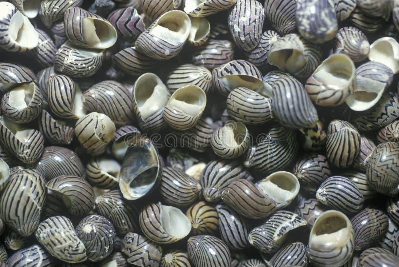Σωρός των κοχυλιών σαλιγκαριών, FT Myers, Φλώριδα στοκ φωτογραφίες