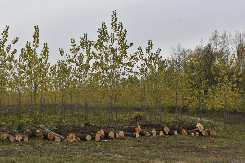 Σωρός των περιορίζων δέντρων με ένα δενδρώδες δάσος διαβίωσης στοκ εικόνα με δικαίωμα ελεύθερης χρήσης