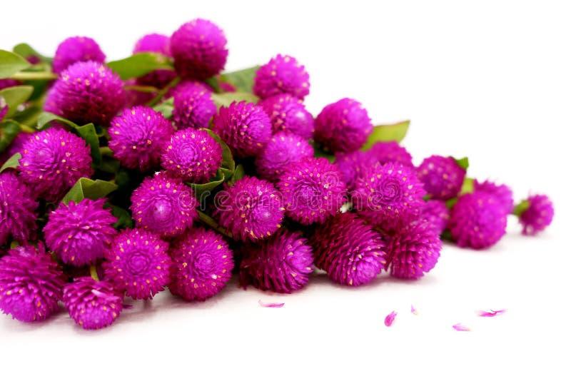 Σωρός των πορφυρών λουλουδιών κουμπιών αμάραντων/του αγάμου σφαιρών στοκ εικόνα