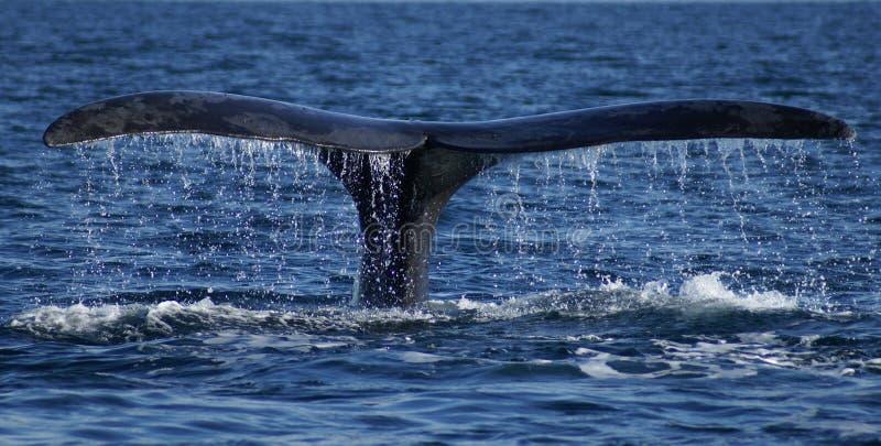 σωστή φάλαινα ουρών στοκ φωτογραφίες