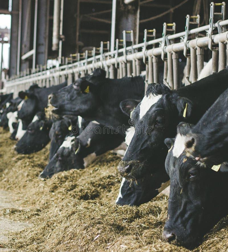 Σύγχρονος αγροτικός σταύλος με το άρμεγμα των αγελάδων που τρώνε το σανό στοκ εικόνα