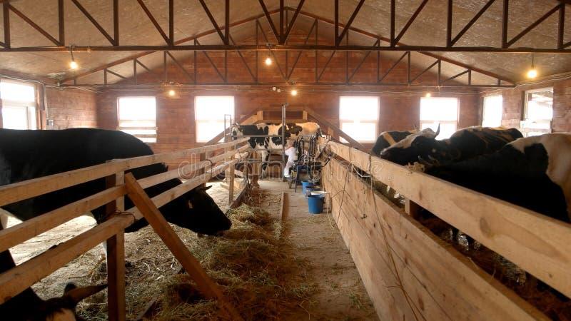 Σύγχρονος αγροτικός σταύλος με το άρμεγμα των αγελάδων που τρώνε το σανό στοκ εικόνα με δικαίωμα ελεύθερης χρήσης