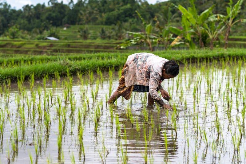 Σύζυγος της Farmer ρυζιού στην εργασία στοκ φωτογραφία με δικαίωμα ελεύθερης χρήσης