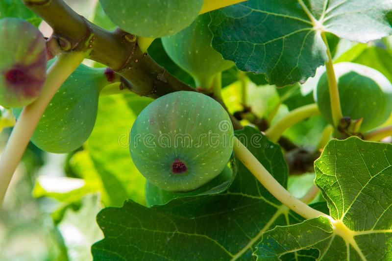 Σύκα Riping στα νόστιμων και υγιών τρόφιμα δέντρων, στοκ εικόνα