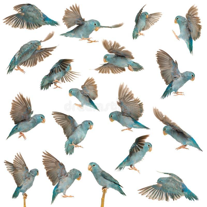 Σύνθεση ειρηνικού Parrotlet, Forpus coelestis, πέταγμα στοκ εικόνα