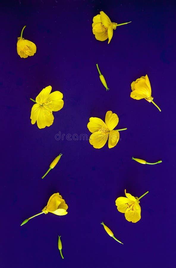 Σύνθεση των κίτρινων λουλουδιών και των οφθαλμών σε ένα ιώδες υπόβαθρο r r στοκ εικόνες