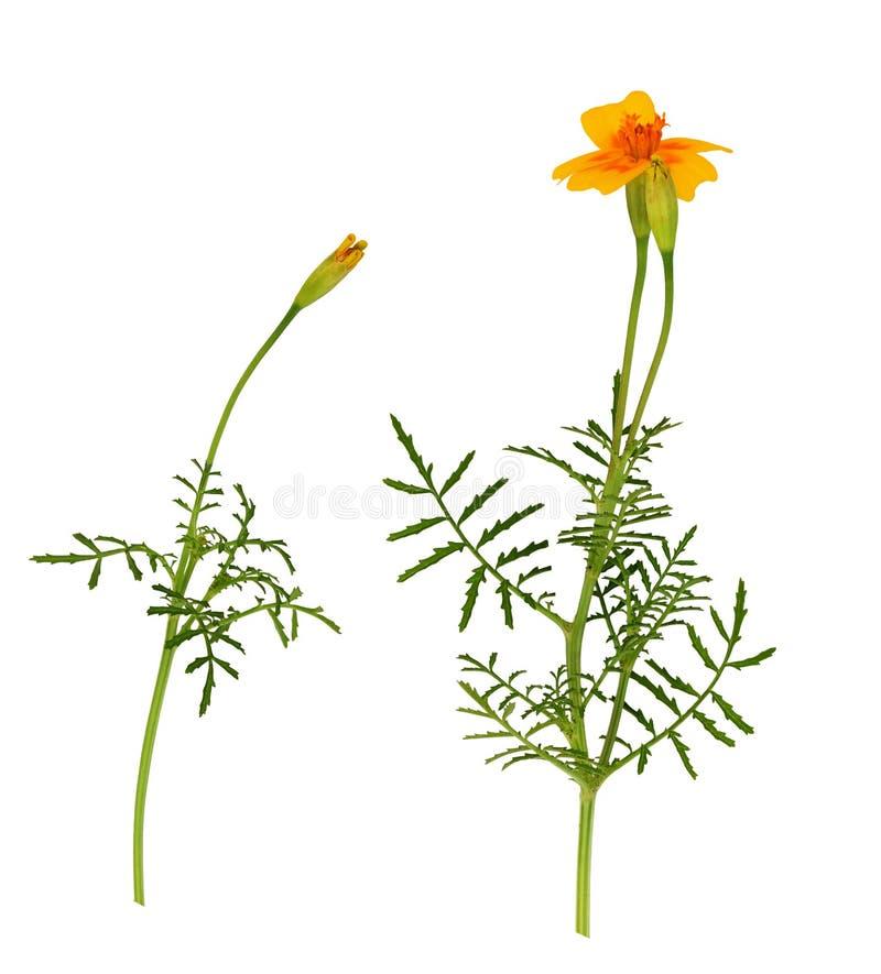Σύνολο άγριων marigold λουλουδιού και οφθαλμών στοκ φωτογραφίες με δικαίωμα ελεύθερης χρήσης