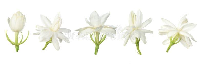 Σύνολο άσπρου λουλουδιού, ταϊλανδικό jasmine λουλούδι που απομονώνεται στο άσπρο υπόβαθρο στοκ εικόνες με δικαίωμα ελεύθερης χρήσης