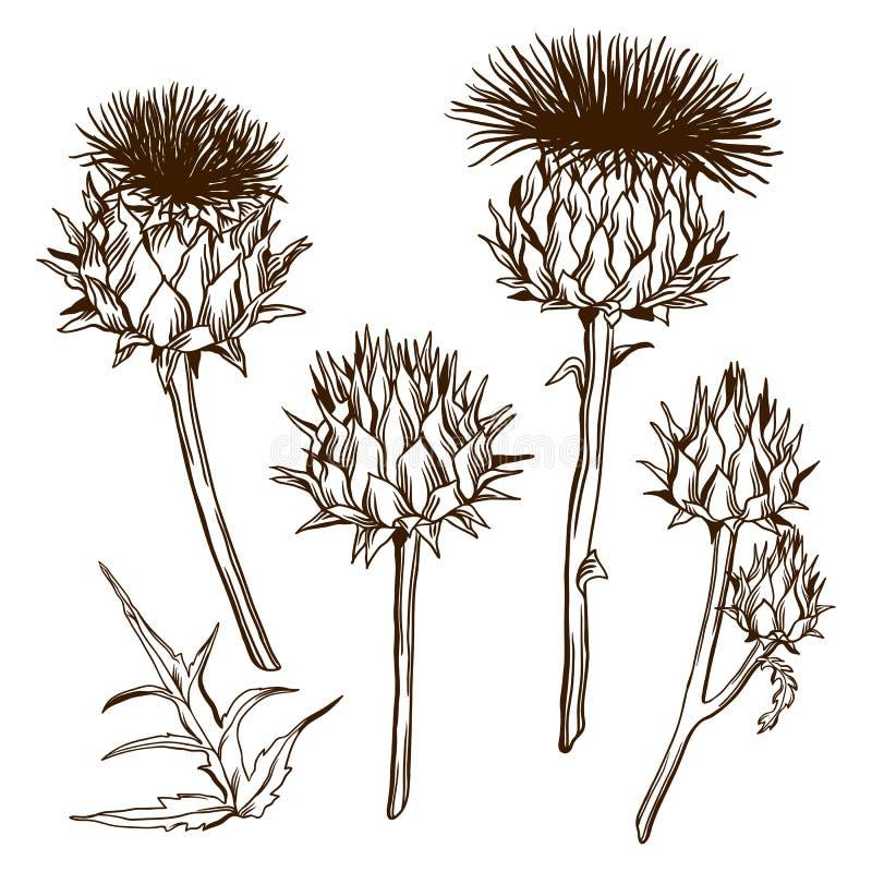 Σύνολο διακοσμητικού acanthium onopordum σκωτσέζικος κάρδος απεικόνιση αποθεμάτων