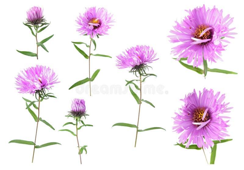 Σύνολο διαφορετικών ρόδινων λουλουδιών αστέρων που απομονώνεται στο λευκό στοκ φωτογραφίες