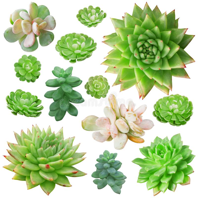 Σύνολο διαφορετικών succulents που απομονώνονται στο άσπρο υπόβαθρο στοκ φωτογραφία με δικαίωμα ελεύθερης χρήσης