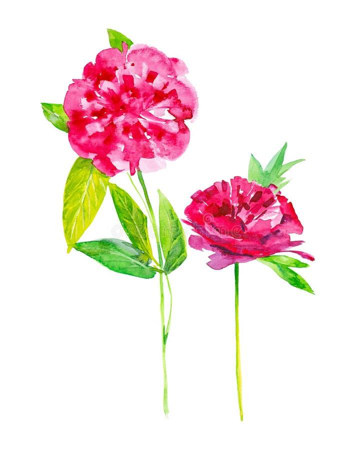 Σύνολο δύο peony λουλουδιών Απεικόνιση Watercolor που απομονώνεται στο άσπρο υπόβαθρο ελεύθερη απεικόνιση δικαιώματος