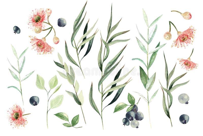 Σύνολο ευκαλύπτων Watercolor Χρωματισμένα χέρι στοιχεία και μούρο ευκαλύπτων Floral απεικόνιση που απομονώνεται στο άσπρο υπόβαθρ απεικόνιση αποθεμάτων