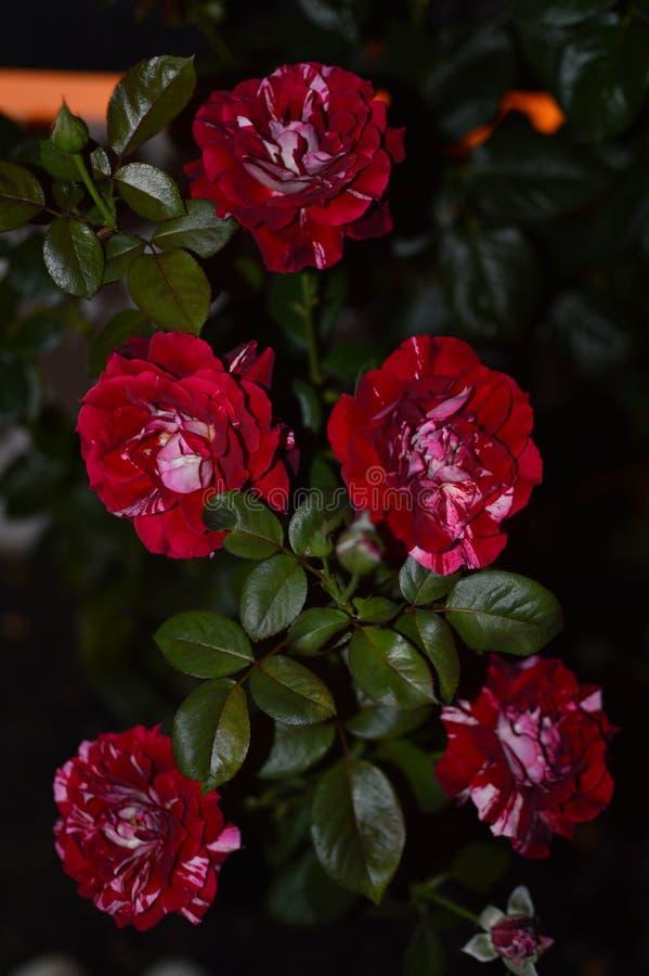 Σύνολο κόκκινων και άσπρων τριαντάφυλλων σε ένα μπουμπούκι τριαντάφυλλου που φωτίζεται από το φως μιας έκλειψης Τέχνη, λουλούδια, στοκ εικόνες