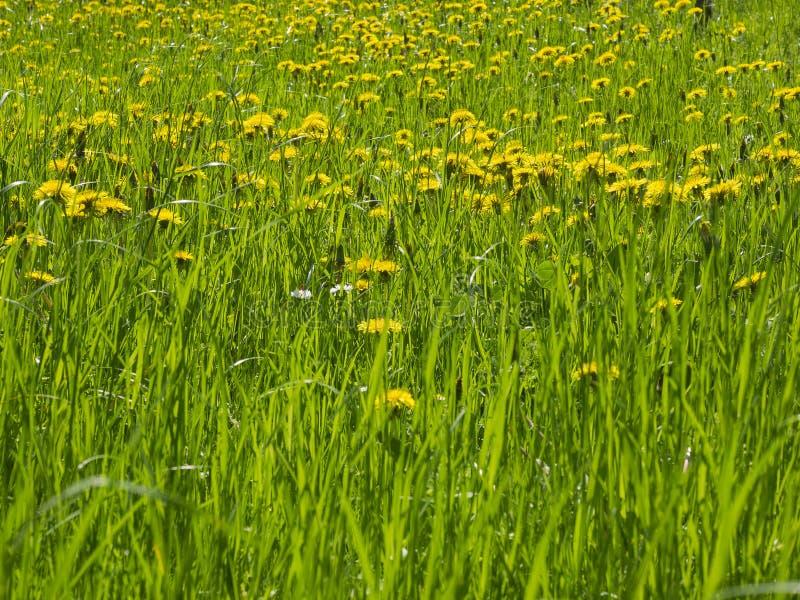 Σύνολο λιβαδιών των κίτρινων λουλουδιών των εγκαταστάσεων πικραλίδων στην πλήρη άνθιση στοκ εικόνα