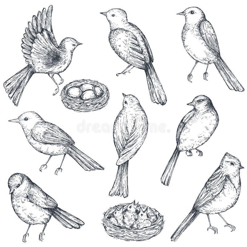 Σύνολο συρμένων χέρι πουλιών σκίτσων μελανιού, φωλιά, νεοσσοί διανυσματική απεικόνιση