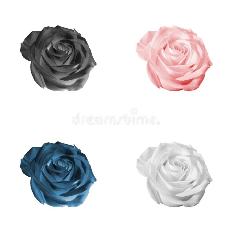 Σύνολο τριαντάφυλλων που απομονώνεται στο λευκό στοκ φωτογραφίες