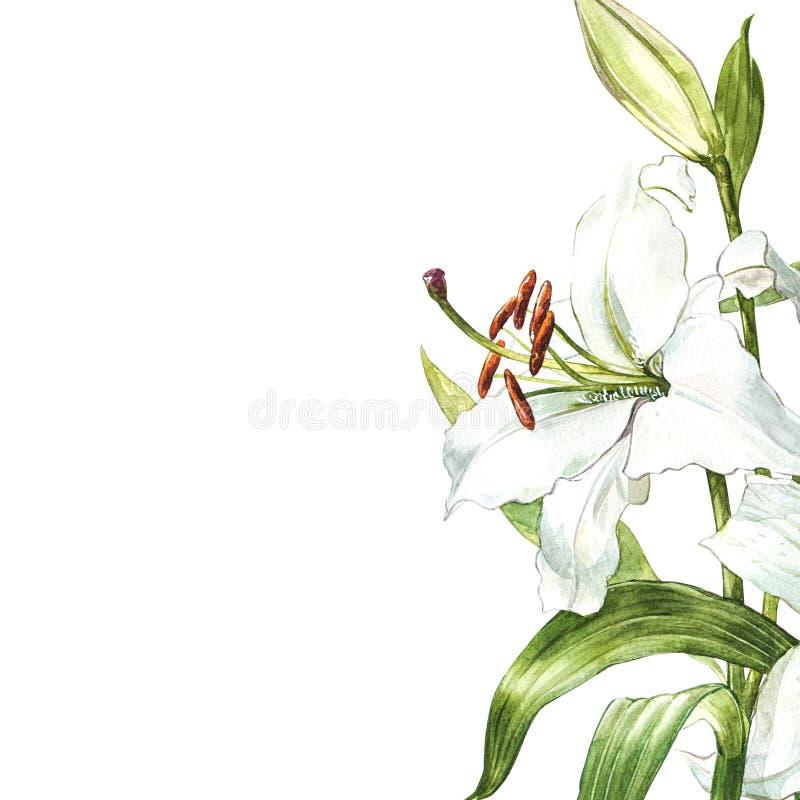 Σύνολο Watercolor άσπρων κρίνων, συρμένη χέρι βοτανική απεικόνιση των λουλουδιών που απομονώνεται σε ένα άσπρο υπόβαθρο απεικόνιση αποθεμάτων