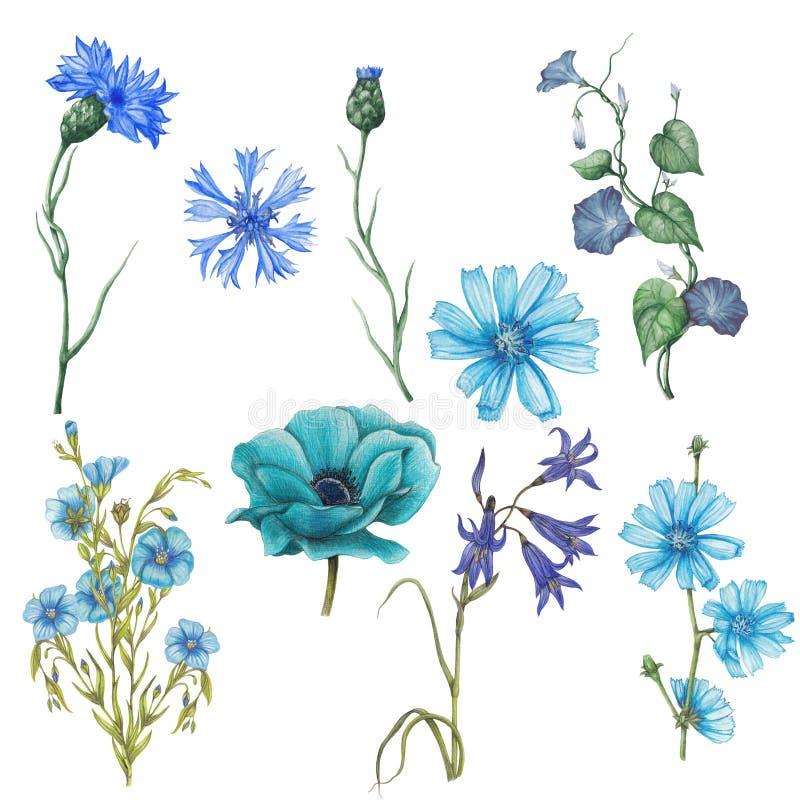Σύνολο Watercolor μπλε wildflowers κήπων διανυσματική απεικόνιση