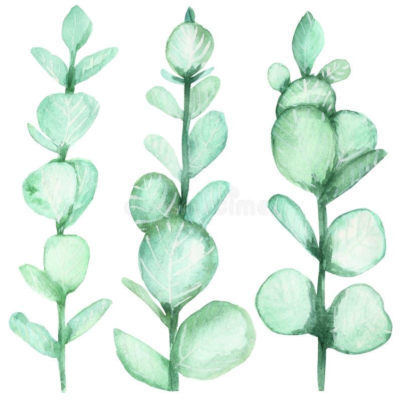 Σύνολο Watercolor πράσινων τροπικών κλάδων του ασημένιου ευκαλύπτου που απομονώνεται σε ένα άσπρο υπόβαθρο διανυσματική απεικόνιση