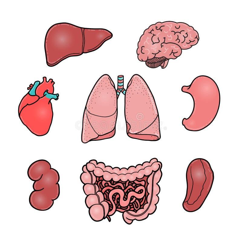 Σύνολο ανθρώπινων εσωτερικών οργάνων, διανυσματικές απεικονίσεις απεικόνιση αποθεμάτων