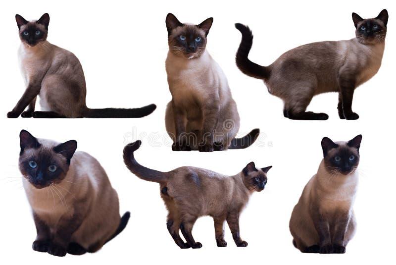 Σύνολο ενήλικων σιαμέζων γατών στοκ εικόνες