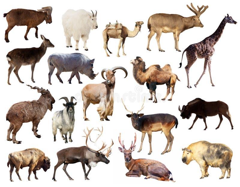 Σύνολο ζώων θηλαστικών Artiodactyla πέρα από το άσπρο υπόβαθρο στοκ φωτογραφίες με δικαίωμα ελεύθερης χρήσης