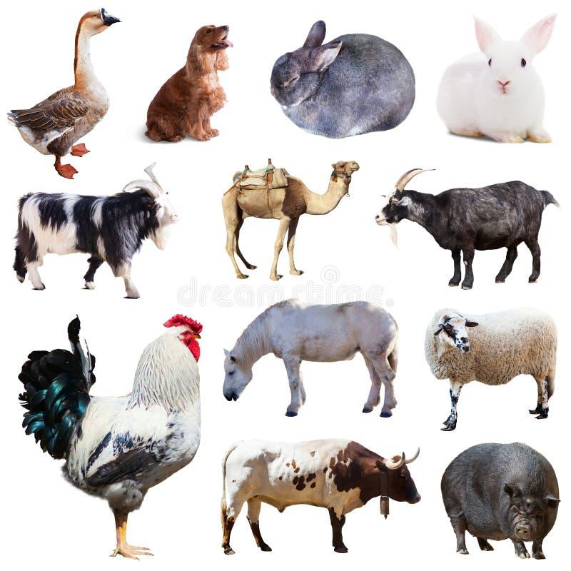 Σύνολο κόκκορα και άλλων ζώων αγροκτημάτων Απομονωμένος πέρα από το λευκό στοκ φωτογραφία με δικαίωμα ελεύθερης χρήσης