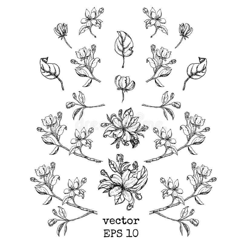 Σύνολο κλάδων και λουλουδιών μήλων Λουλούδι καθορισμένο: Σκίτσο του ανθίζοντας κλάδου δέντρων της Apple στοιχείο σχεδίου σας απεικόνιση αποθεμάτων
