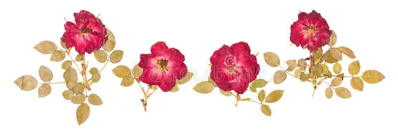 Σύνολο μικρών ξηρών τριαντάφυλλων που πιέζονται στοκ εικόνες
