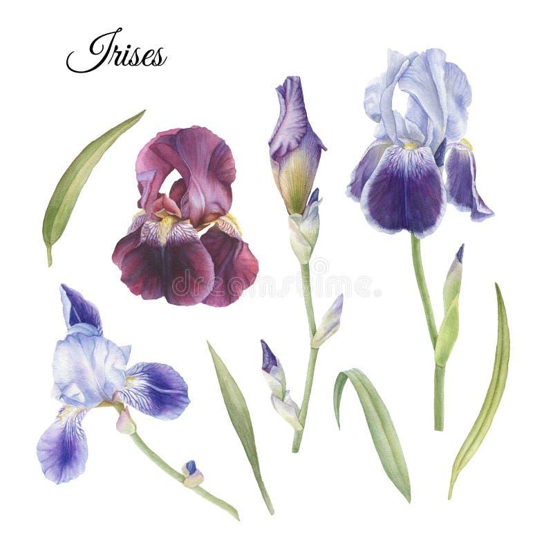 Σύνολο λουλουδιών ίριδας και φύλλων watercolor διανυσματική απεικόνιση