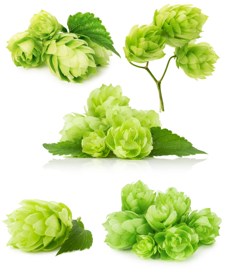 Σύνολο πράσινων λυκίσκων που απομονώνεται στο άσπρο υπόβαθρο στοκ φωτογραφία με δικαίωμα ελεύθερης χρήσης