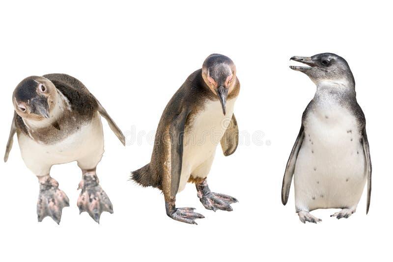 Σύνολο πλήρους σώματος τριών penguins, στάση στοκ εικόνες με δικαίωμα ελεύθερης χρήσης