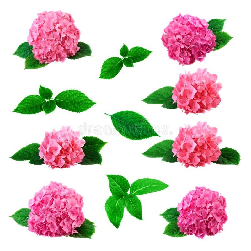 Σύνολο ρόδινων λουλουδιών και φύλλων hortensia Συλλογή με το λουλούδι hydrangea που απομονώνεται μεγάλη στο λευκό στοκ εικόνα