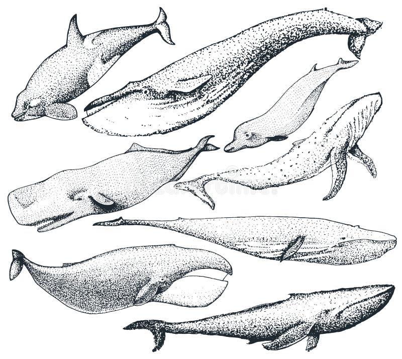 Σύνολο συρμένων χέρι φαλαινών απεικόνιση αποθεμάτων