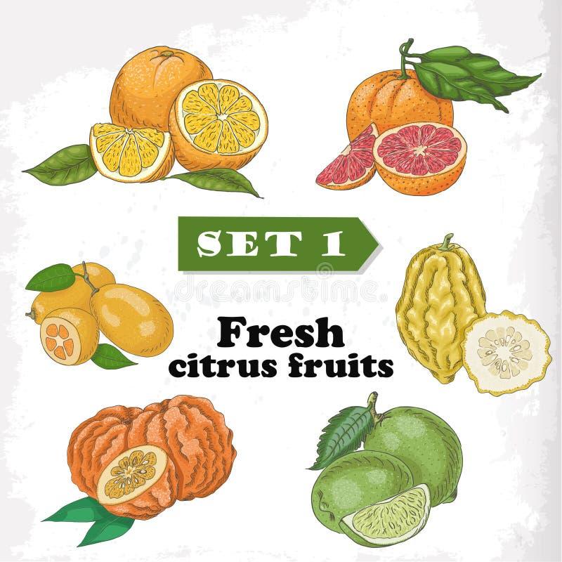 Σύνολο 1 φρέσκα εσπεριδοειδή του πορτοκαλιού, του γκρέιπφρουτ, του κίτρου, του ασβέστη, του πικρού πορτοκαλιού και του κουμκουάτ ελεύθερη απεικόνιση δικαιώματος