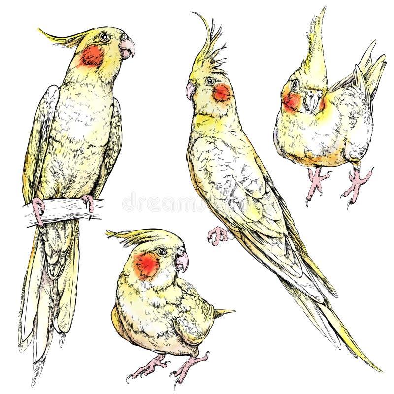 Σύνολο χαριτωμένων αστείων παπαγάλων cockatiel ελεύθερη απεικόνιση δικαιώματος