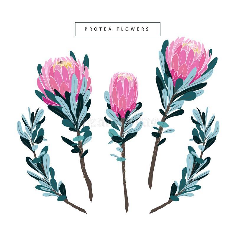 Σύνολο floral εκλεκτής ποιότητας συρμένου χέρι protea, wildflowers ελεύθερη απεικόνιση δικαιώματος
