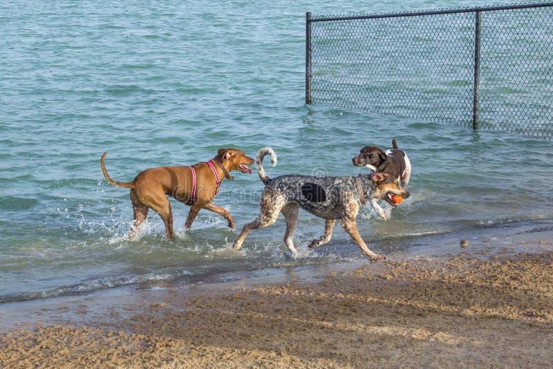 Σύντροφοι πάρκων σκυλιών σε μια λίμνη κοντά στην αμμώδη παραλία του στοκ φωτογραφία με δικαίωμα ελεύθερης χρήσης