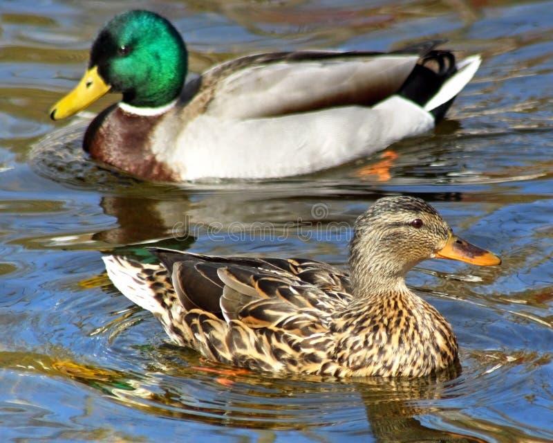 Σύντροφοι παπιών πρασινολαιμών που κολυμπούν μαζί στα όμορφα μπλε νερά στοκ εικόνα με δικαίωμα ελεύθερης χρήσης