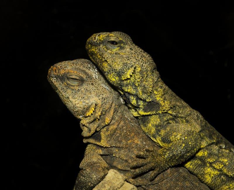 Σύντροφοι iguana ερήμων που βρίσκονται ο ένας πάνω από τον άλλον στοκ εικόνες