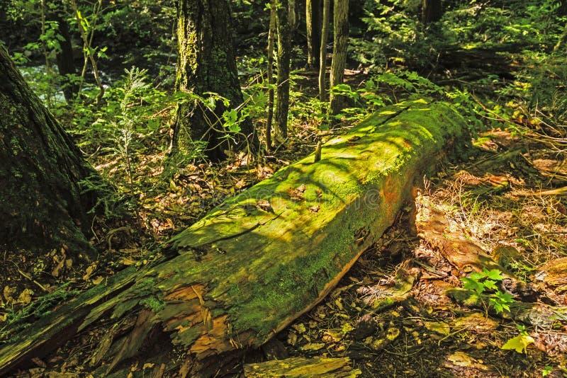 Σύνδεση Colvered βρύου το δάσος στοκ φωτογραφίες με δικαίωμα ελεύθερης χρήσης