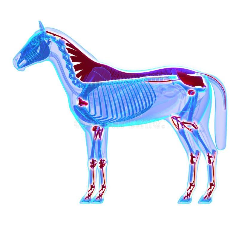 Σύνδεσμοι αλόγων και ενώσεις/τένοντες - ανατομία Equus αλόγων - ISO απεικόνιση αποθεμάτων